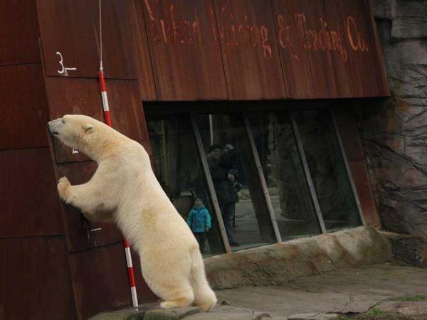 Eisbär Nanuq