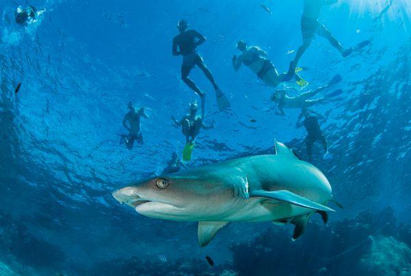 Riffhaie hautnah erleben vor Kuata Island, Fidschi