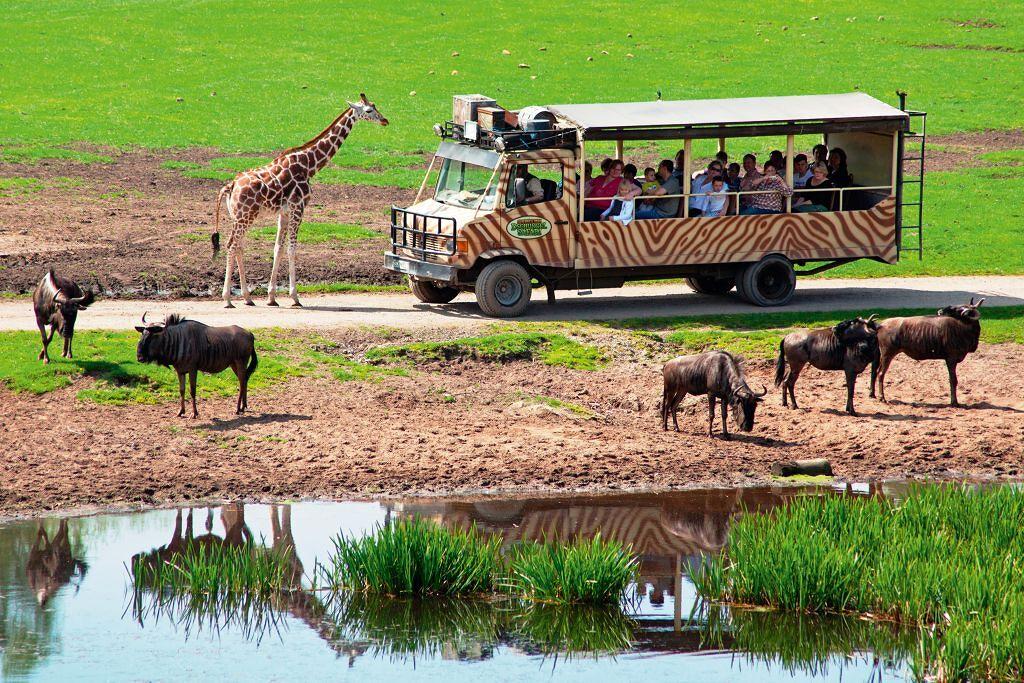 Giraffen und Gnus bei der Dschungel-Safari im Serengeti<br>Park