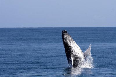 Die Dominikanische Republik sucht den Walflüsterer 2014